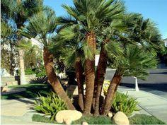 ARTE Y JARDINERÍA DISEÑO DE JARDINES: PALMITO – Chamaerops humilis. Familia: Palmáceas