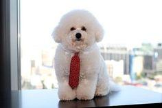 NYX bichon - Sir Bruce Barkalot. What a cutie! #bichon #frise