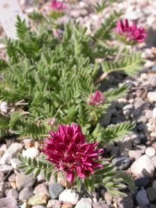 Anthyllis vulneraria ssp. atlantis