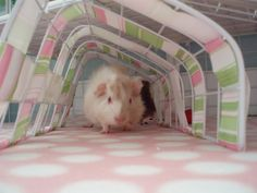 Ploof in tunnel cam! Second day with our darling Ploof, and she's now exploring and popping all over! Cute Guinea Pigs, Guinea Pig Toys, Chinchillas, Hamsters, Strange Photos, Beavers, Mice, Pet Toys, Exploring