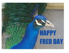 Fred the Peacock (@lenagal1) | Twitter