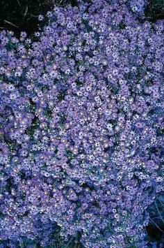 """Aster oblongifolius 'Fanny' (Fanny's Fall Aster). Zone 4-9; height 24""""; sun.  Flowers in late fall, likes a hot, dry site."""