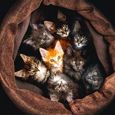 American Bobtail Cat Shedding