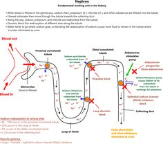 Nephron illustration