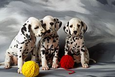 ˚Dalmatians