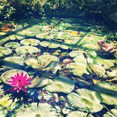 Penang Butterfly Farm Lily Pond