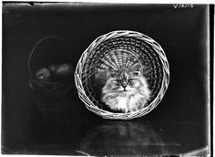 Cat in basket. Photographer: HJ Burrell.