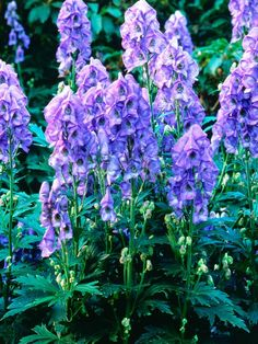 Cottage-Garden Plants: Monkshood (Aconitum carmichaelii), Arendsii Group    Mature size: 4 feet tall, 12 inches wide. Ideal growing conditions: full sun to part shade; moist, well-drained soil