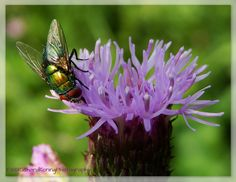 Vlieg op akkerdistel | fly on Thistle