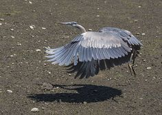 Blue Heron with Shadow