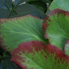 BERGENIA 'Dark Margin' (Plante des savetiers) : Robustes et peu exigeants, ce sont de très bons couvre-sols, parfaitement rustiques. Feuillage ample, coriace et persistant, formant un tapis épais. La floraison débute en fin d'hiver. Peuvent être utilisés en grands groupes, par exemple en garniture d'un massif d'arbustes ou à l'ombre froide d'un mur. Feuillage vert à revers pourpre largement bordé de rouge pourpre. Fleurs rouge pourpre foncé.