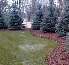 Picea pungens Fat Albert Fat Albert Colorado Blue Spruce from Neil Vanderkruk Holdings Inc. Evergreen Landscape, Lawn And Landscape, House Landscape, Landscape Design, Garden Design, Evergreen Hedge, Privacy Landscaping, Outdoor Landscaping, Front Yard Landscaping