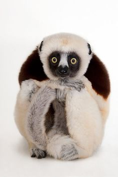 The black and white lemur, Coquerel's sifaka, sits monk-like, resting its chin casually on crossed hands.