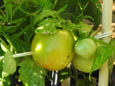 Final harvest of tomatoes 10/2/15 - cant wait for next year !
