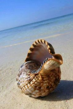 Ocean Sea Shells: Beautiful seashell on the sand. Foto Poster, Shell Beach, I Love The Beach, Am Meer, Ocean Life, Marine Life, Sea Creatures, Under The Sea, Animal Photography