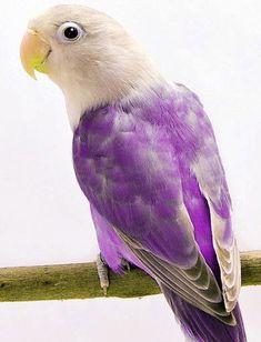 Love Bird Violet Fischer