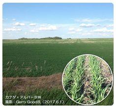 春小麦の生長は順調(カナダ・アルバータ州)   http://subaru25.official.jp/overseas-food-supply-and-demand-information-330/