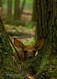""""""" White Tail Fawn by J.P. Lawrence Photography """""""