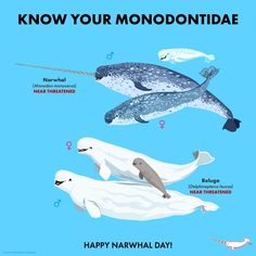 Know Your Monodontidae Animals And Pets, Baby Animals, Funny Animals, Cute Animals, Animals Planet, Fun Facts About Animals, Animal Facts, Underwater Creatures, Ocean Creatures