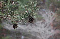 fall pine cones