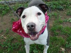 SAFE 6-24-2015 by All Breed Rescue Vermont --- Manhattan Center CHEESECAKE – A1039524 FEMALE, GRAY / WHITE, PIT BULL MIX, 5 yrs STRAY – ONHOLDHERE, HOLD FOR ID Reason STRAY Intake condition EXAM REQ Intake Date 06/10/2015