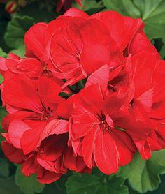 Geranium, Calliope Dark Red, , large