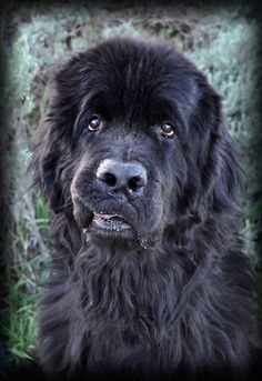 Newfoundland Dog Monday Meme Newfoundland Pinterest