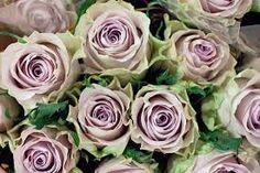 Image result for silverado rose