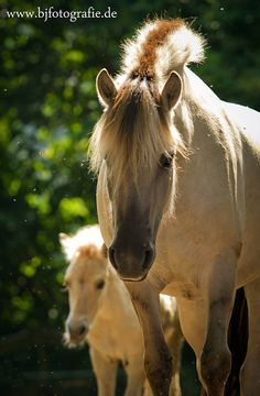 Norwegian Fjord mare and foal (love these horses)  -P.Up (Predictably Unpredictable)