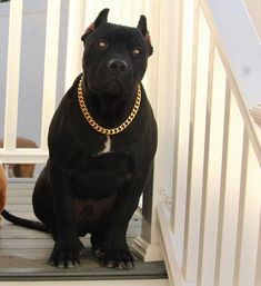 Pitbull Terrier, Pitbull Noir, Blueline Pitbull, Scary Dogs, American Pitbull, Cute Dogs Breeds, Large Dog Breeds, Bully Dog, Beautiful Dogs
