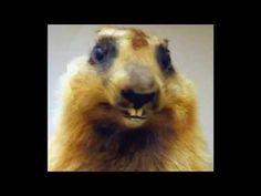 Marmotte Chiante - Souhait d'anniversaire humoristique - Ep.01  Un beau souhait d'anniversaire originale !   #maitrefun #marmotte #chiante #marmottechiante #vulgaire #humour #drole #comique Lion, Animals, French, Birthday, Birthday Humorous, Wish, Advice, Leo, Animais