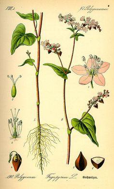 Fagopyrum Esculentum (Buckwheat) helps attract predatory insects in the garden