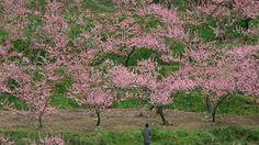 O pomar de pêssegos