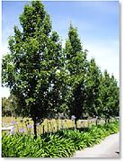 Large backyard landscaping ideas are quite many. However, for you to achieve the best landscaping for a large backyard you need to have a good design. Ornamental Pear Tree, Hello Hello Plants, Privacy Plants, Privacy Trees, Tree Borders, Fenced Vegetable Garden, Large Backyard Landscaping, Farmhouse Garden, Gardening Zones
