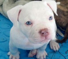 Pit Bull Puppy -  THIS MAKES ME WANT ANOTHER!!!