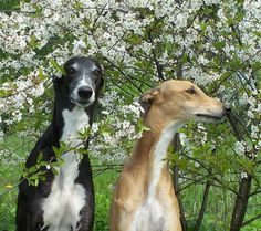 This picture reminds me of my mom's greyhounds she had when I was a kid.