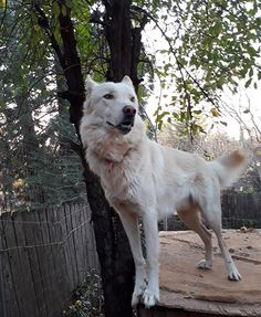 Nor-Cal Wolfdogs wolf hybrids for sale Puppies For Sale, Cute Puppies, Dogs And Puppies, Wolf Hybrid Puppies, Wolf Dog Puppy, Wolfdog Hybrid, Husky, California, Animals