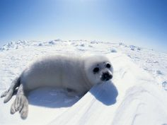 Harp Seal Pup on Ice.