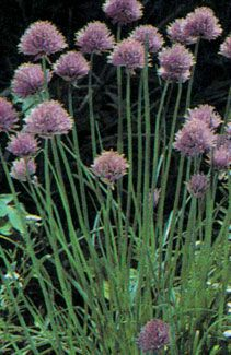 Chives Perennial Seeds (9 per Sq'): Will plant as a border rather than isolate to one sq'.