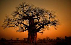 Baobab !! Le Baobab, Baobab Tree, Tree Tat, Dry Tree, Sacred Plant, Bonsai Art, Santa Marta, Amazing Sunsets, Sunrises