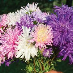 China Aster 'Giants of California'