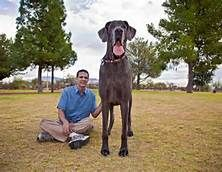 Giant George, the world's largest dog died October 18, 2013 just shy of his eighth birthday.  Such a beautiful and loving angel will never be forgotten.