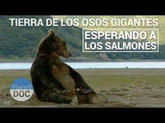 ▶ Tierra de los Osos Gigantes. Esperando a los salmones | Naturaleza - Planet Doc - YouTube