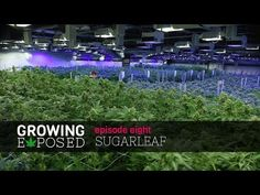 This Micro-Cap Pot Company Could Produce Outsized Returns Through Aggressive Expansion Investing In Stocks, Cannabis Growing, Tour Guide, The Expanse, Cap, Tours, Garden, Youtube, Baseball Hat