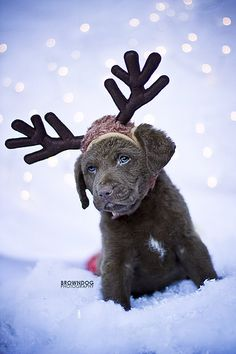 ♥  Puppy reindeer for Christmas!