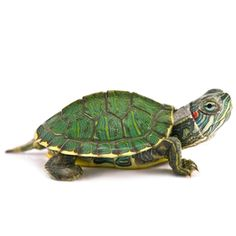 Red Eared Slider Turtle i want! Turtles For Sale, Cute Turtles, Baby Turtles, Turtle Store, Red Eared Slider Turtle, Tortoise Care, Tortoise Turtle, Russian Tortoise, Pet Turtle