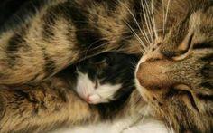 tabby momcat cuddles tiny tuxedo kitten to sleep.