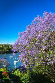 Sydney Jacaranda Trees are a true gem of nature. Blooming in October and November all across the city they really do let you know Summer has arrived!