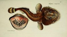 Lophius viviparous (also Lophiomus setigerus) Species of Lophiidae. Common name:  Blackmouth angler. Illustration by J.F. Hennig from Systema Ichthyologiae Iconibus CX Illustratum, by author/illustrator Marcus Elieser Bloch (1723–1799). Published in 1801 .