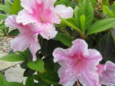 "Azalea Varieties for the Flower Garden: Just Call it ""The Korean Azalea"""